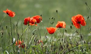 红色鲜花草丛近景特写摄影高清图片