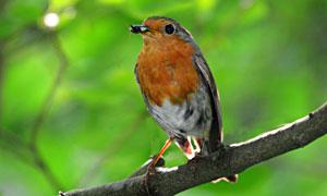 樹枝上逮到蟲子的小鳥攝影高清圖片