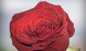 一束红色的玫瑰花特写摄影高清图片