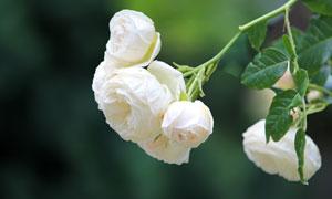绿色叶子白色花朵特写摄影高清图片