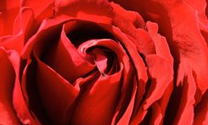 鲜红色玫瑰花微距特写摄影高清图片
