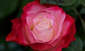 綻放的大朵紅玫瑰特寫攝影高清圖片