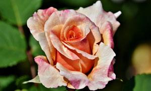 一朵盛開的玫瑰花特寫攝影高清圖片