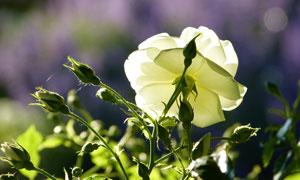 紛紛等待綻放的玫瑰花攝影高清圖片