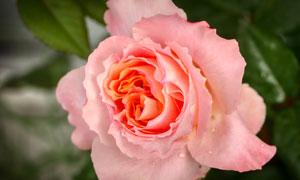 落有水珠的玫瑰花特写摄影高清图片
