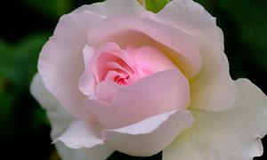 粉紅色的玫瑰鮮花特寫攝影高清圖片