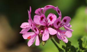 粉紅色天竺葵花卉植物攝影高清圖片