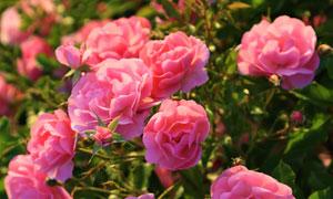 開出朵朵鮮花的玫瑰花攝影高清圖片