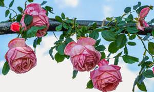 花架上的紅色玫瑰鮮花攝影高清圖片