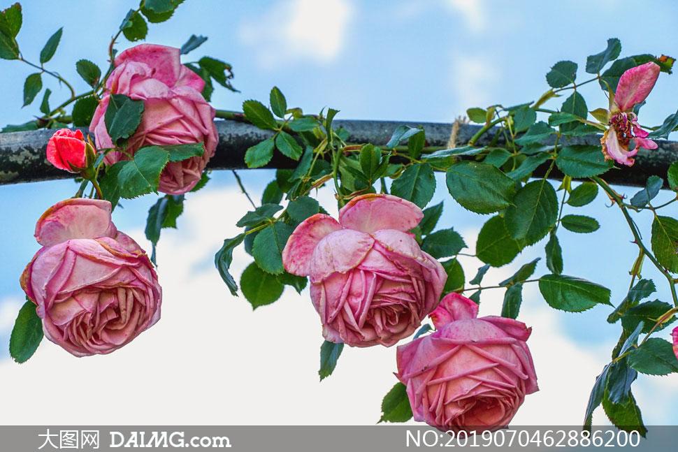 花架上的红色玫瑰鲜花摄影高清图片