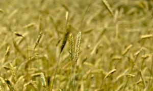 农田里的麦穗近景特写摄影高清图片