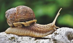 巖石上爬行的蝸牛特寫攝影高清圖片