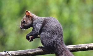 樹枝上的一只松鼠特寫攝影高清圖片