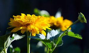 一朵黃色菊花植物特寫攝影高清圖片