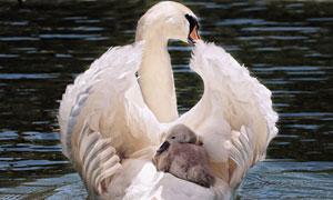 在背上驮着幼崽的天鹅摄影高清图片