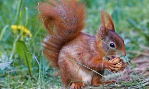在啃食物的棕紅色松鼠攝影高清圖片