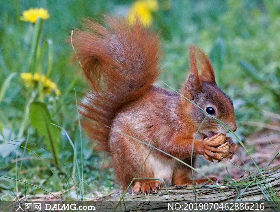 在啃食物的棕红色松鼠摄影高清图片