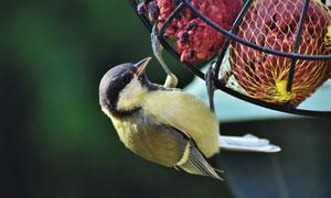 啄食食物的小麻雀特寫攝影高清圖片