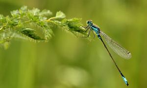 樹葉上的一只蜻蜓特寫攝影高清圖片