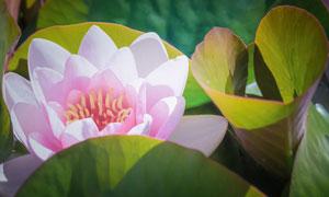 水面上粉红色睡莲特写摄影高清图片