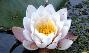 开出几瓣花的睡莲特写摄影高清图片