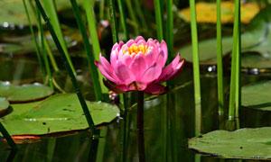 生長在水中的粉紅鮮花攝影高清圖片