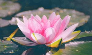 水面之上粉紅色的睡蓮特寫高清圖片