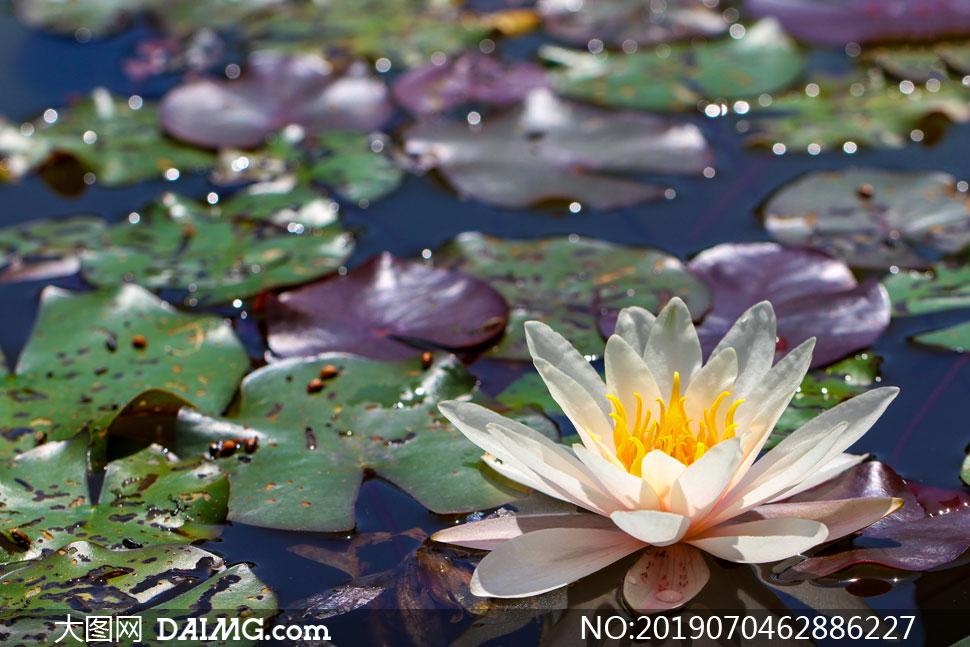 浮在水面上的睡莲花朵摄影高清图片