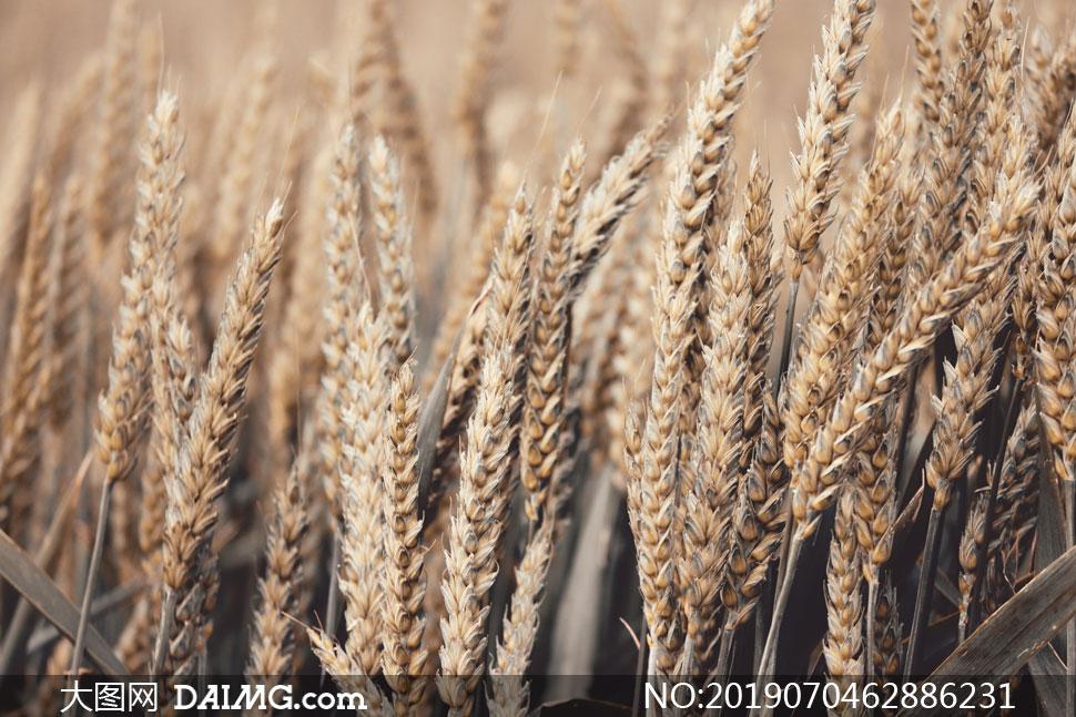 麦田里成熟的小麦特写摄影高清图片