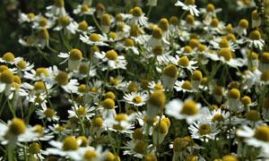 洋甘菊花草叢綻放美景攝影高清圖片