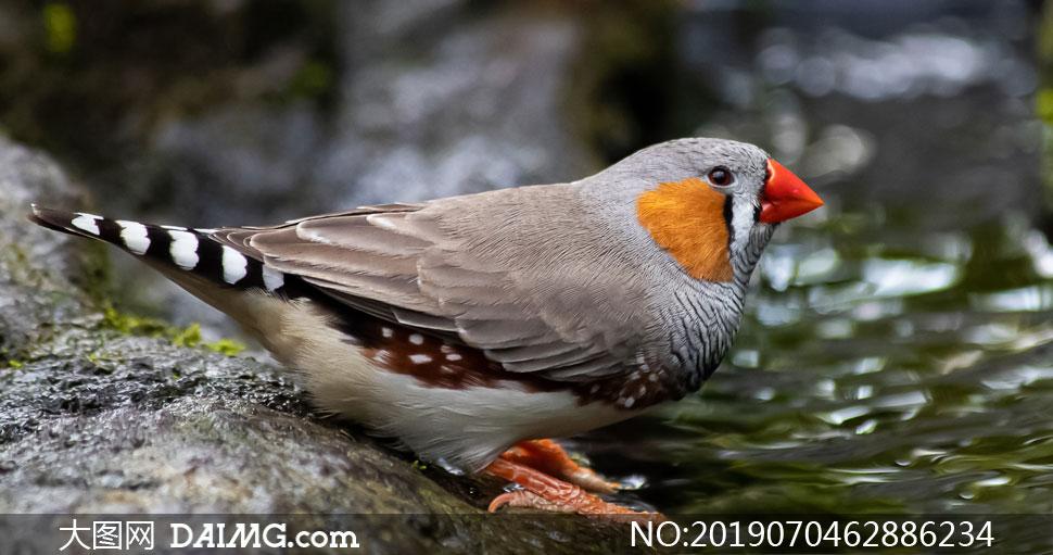 在喝水的红嘴草雀特写摄影高清图片