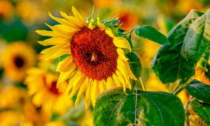 美麗的向日葵微距攝影圖片