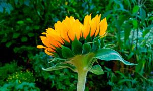含苞待放的向日葵花攝影圖片