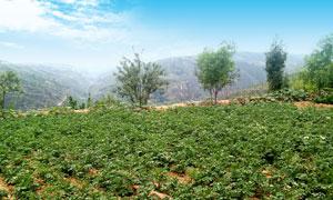 蓝天下的山间土豆种植园摄影图片