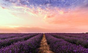 黄昏下的薰衣草庄园摄影图片