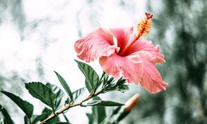 美麗的紫荊花盛開近景攝影圖片