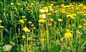美丽的小黄花微距近景摄影图片