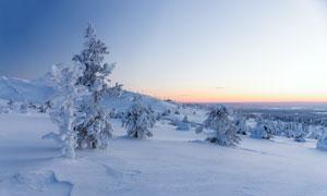山坡雪后美麗的松樹攝影圖片