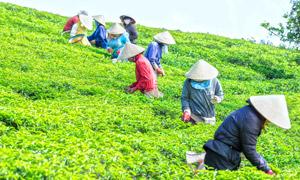 在茶園采茶的繁忙工人攝影高清圖片