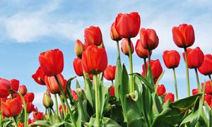 郁金香紅色花卉攝影圖片