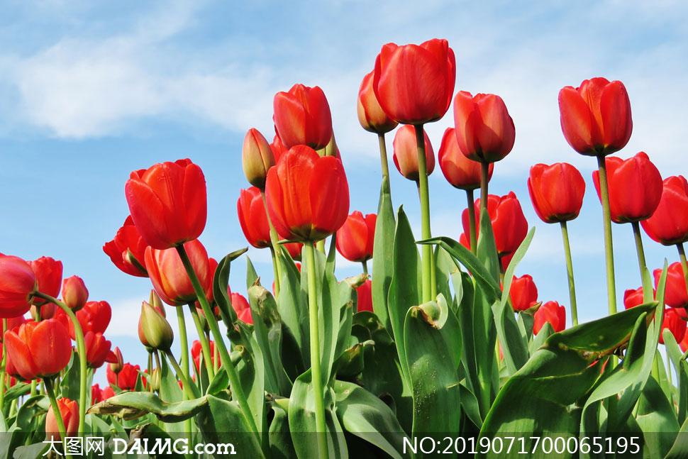 郁金香红色花卉摄影图片