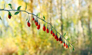 树上挂着成熟的枸杞高清摄影图片