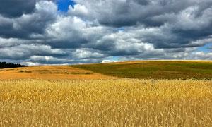 乌云下的田园麦田高清摄影图片