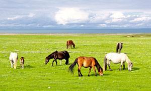 青海湖草原牧馬高清攝影圖片