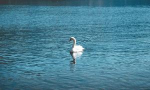 湖中美麗的白天鵝攝影圖片