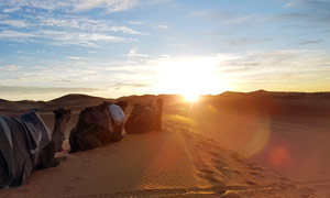 沙漠中的骆驼摄影图片