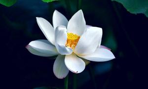 盛開的白色荷花高清攝影圖片