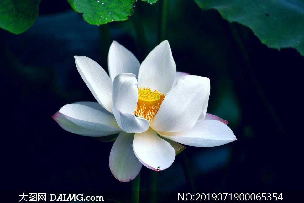 盛开的白色荷花高清摄影图片