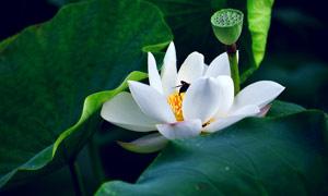 盛開的白色荷花和蓮蓬攝影圖片
