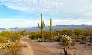蓝天下沙漠中的仙人掌摄影图片